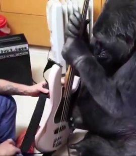 Murió Koko, La Gorila Que Tocó El Bajo Con Flea de RHCP. 1