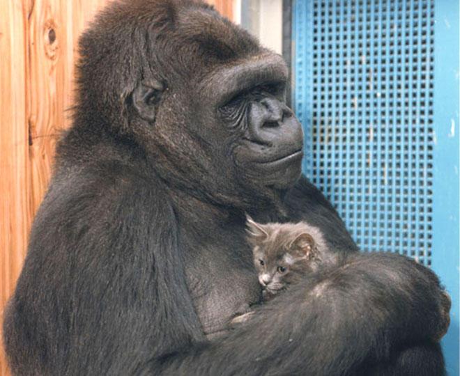 Murió Koko, La Gorila Que Tocó El Bajo Con Flea de RHCP. 3
