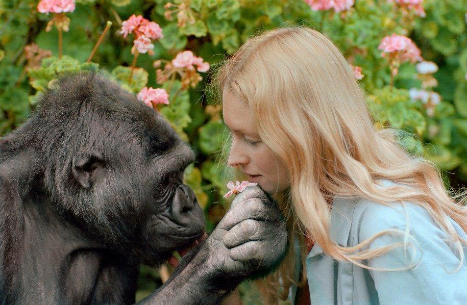 Murió Koko, La Gorila Que Tocó El Bajo Con Flea de RHCP.